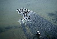 Europe/France/Provence-Alpes-Côte d'Azur/13/Bouches-du-Rhône/Camargue/Les Saintes Maries de la Mer: Traversée d'un marais par les taureaux Vue aérienne