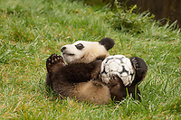 15 month old giant panda cub with soccer ball    (Ailuropoda melanoleuca)<br />