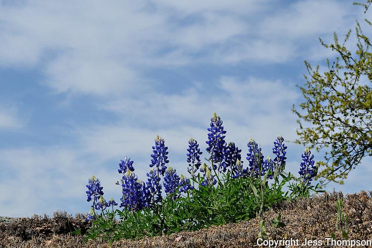 Bluebonnet Flowers, Lllano, Texas