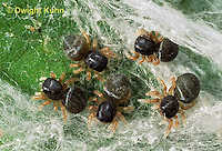 JS01-116x  Jumping Spider - young spiderlings in nest - Phidippus clarus