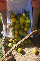 Afrique/Afrique du Nord/Maroc/Rabat: Hotel - Maison d'Hote Villa Mandarine Souad cueille les oranges dans l'orangeraie du parc