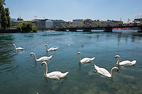 Switzerland, Geneva, Swans on Lake Geneva.