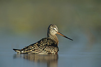 Hudsonian Godwit, Limosa haemastica,adult bathing, Welder Wildlife Refuge, Sinton, Texas, USA