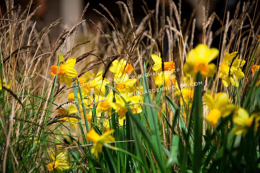 Ornamental grass offers a contrast to the cheerful yellow and orange daffodils.