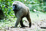 Olive Baboon (Papio anubis) male walking through rainforest, Kibale National Park, western Uganda