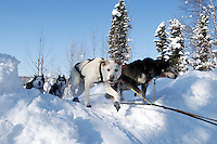 Heading to a 2nd place finish, Travis Beals runs on the in-bound trail nearing the finish line of the 2009 Junior Iditarod in Willow, Alaska.   .March 1, 2009