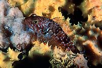 striped rock cod, family Nototheniidae, possibly: Trematomus hansoni, they synthesize glycoproteins that behave like antifreeze, Antarctica