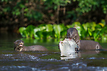 Adult giant otter (Pteronura brasiliensis) with fish in shallow river water. Cristalino River, Amazonia, Brazil.