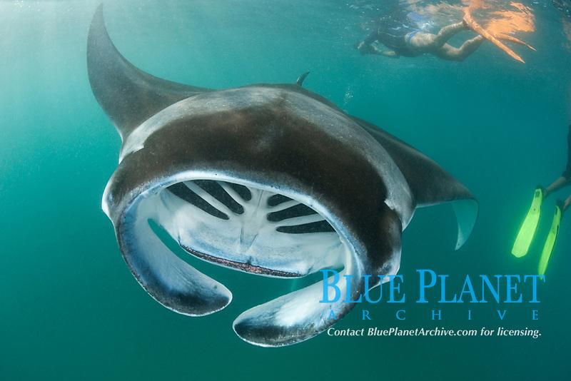 reef manta ray, Mobula alfredi, feeding on plankton, with snorkelers in background, Hanifaru Bay, Hanifaru Lagoon, Baa Atoll, Maldives, Indian Ocean
