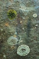 Tree Bark and Lichens, Mt. St. Helens National Volcanic Monument, Washington, US