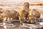 Lions at watering hole, Okavango, Botswana