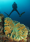 Orchid Island, Taiwan -- Leather coral with diver in the background.