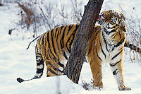 Siberian Tiger (Panthera tigris) checking scent marked tree that has been sprayed by urine by another tiger--see photo #4Mr9.