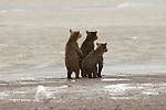 Three Brown Bear cubs on the shore of Cook Inlet in Lake Clark National Park, Alaska.