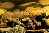 1Y06-054c  Crayfish