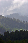 California, Mixed Sequoia and Redwood trees, old growth relicts and second growth forest, Humboldt County, off Highway 101, California, USA,