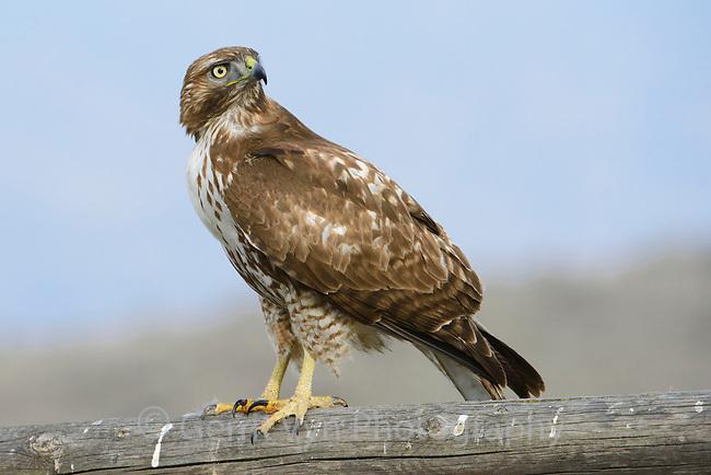 Juvenile Red-tailed Hawk ( Buteo jamaicensis). Canyon County, Idaho. February.