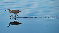 A Reddish Egret wades in the water, Merritt Island, FL, March 2020.(Photo by Brian Cleary/bcpix.com)