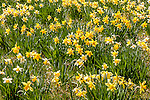 Daffodils in Laurel Ridge Foundation, Litchfield, CT