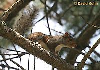 1221-0903  Gray Squirrel Climbing in Tree, Sciurus carolinensis  © David Kuhn/Dwight Kuhn Photography