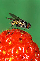 1H01-036a   House Fly - adult on strawberry - Musca domestica