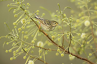 Blackpoll Warbler (Dendroica striata), female perched on blooming Berlandier Acacia (South Padre Island, Texas, USA
