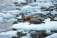 Harbor Seal mother with pup on iceflow, Southeast Alaska.