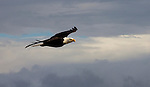 Bald eagle ib flight, Haliaeetus leucocephalus, Puget Sound, Pacific Northwest, Olympic Peninsula, Washington State, American eagle, eagles in flight,