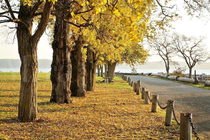 Cottonwood lined road, Kayak Point County Park, Snohomish County, Washington, USA