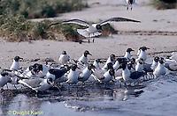 1Z02-025x  Laughing Gull - eating horseshoe crab eggs - Larus atricilla