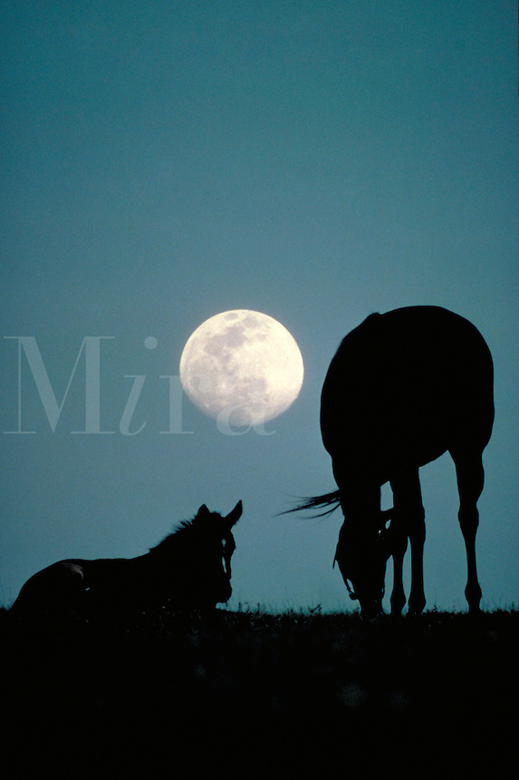 Thoroughbred mare and foal with nearly full moon rising behind them. Timelessness innocence serenity. Photo montage. horse, horses, animals, special effects.
