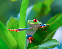 red-eyed treefrog, Agalychnis callidryas, on bromelia, Bromelia sp., in rainforest, Costa Rica