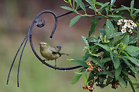 The Orange-crowned Warbler (Vermivora celata) is a small songbird of the New World warbler family.