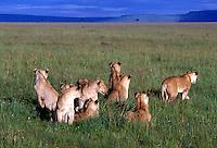 Pride of lions, Masai Mara National Reserve, Kenya,