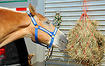 Draft horse having a snack at Cheshire Fair in Swanzey, New Hampshire USA