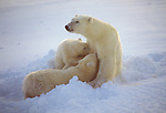 With her nursing place carved out in a bank of freshly fallen snow, a mother polar bear nurses her two cubs born just ten months earlier Wapusk National Park, Manitoba, Canada.