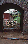 Cows at the Barn in Lough, Ireland