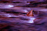 Water swirls past small stones in the South Fork Quinault River, Olympic National Park, Washington, USA.
