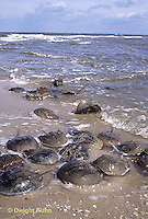 1Y47-097x  Horseshoe Crab - mating on beach at high spring tide -  Limulus polyphemus
