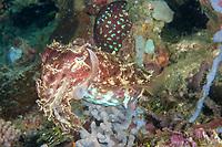 Broadclub cuttlefish, Sepia latimanus, Buyat, Indonesia, Pacific Ocean