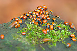 Hibernating Ladybugs, Ladybird Beetles, Muir Woods, Mill Valley, California