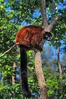 Red Ruffed Lemur (Varecia variegata)