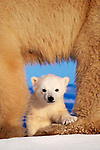 A polar bear cub peeks out from between its mother's legs, Churchill, Manitoba, Canada.