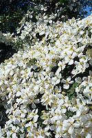 Clematis montana 'Grandiflora' or is this Clematis montana var. sericea