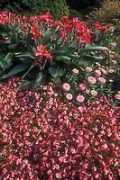 Pink color theme garden, Canna Longwood Rose Pink, Begonia Olympic Pink, Zinnia Fantastic Light Pink, annual flowers