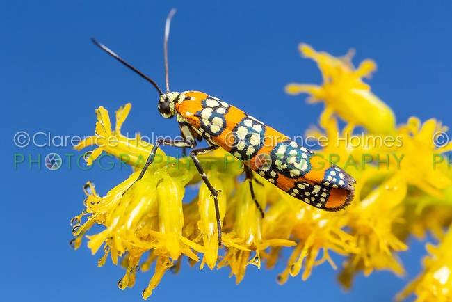 An Ailanthus Webworm Moth (Atteva aurea) perches on Goldenrod flowers.