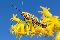 An Ailanthus Webworm Moth (Atteva aurea) perches on Goldenrod flowers.