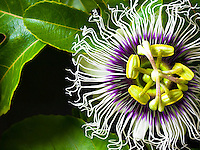 Close-up of a lilikoi (passion fruit) flower on the Big Island.
