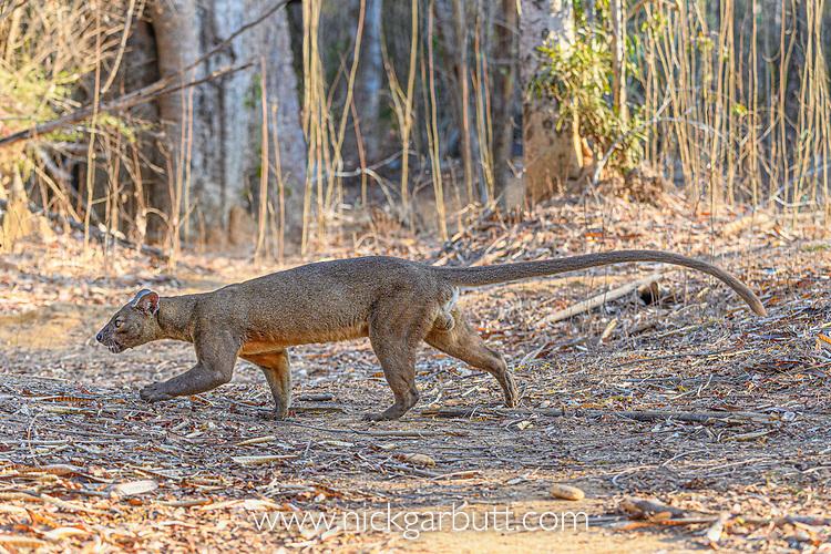 Male fosa (Cryptoprocta ferox)(sometimes erroneously fossa) walking in dry decidous forest. Kirindy, western Madagascar. Endangered.