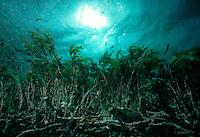 Underwater view of a species of turtle grass. Seychelles Islands, Seychelles Western Indian Ocean.